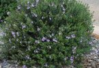City Farm - Westringia fruticosa is a known as Coastal Rosemary and is a hardy all rounder