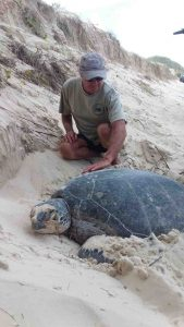 Murray Sambell, trained TurtleCare volunteer, clears sand off the flippers of the huge green turtle at Double Island Point ready for tagging
