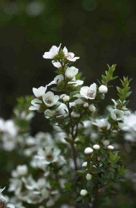 "City Farm Plant of the Month ""Leptospermum speciosum"", commonly known as ""Showy Tea Tree"""