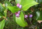 Syzygium oleosum commonly known as 'Blue lillypilly'