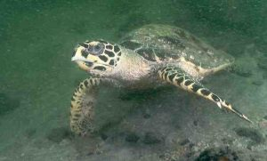 One aim of the project is to bring back more fish, and more locals like this hawksbill turtle - Images by Josh Jensen, Undersea Productions