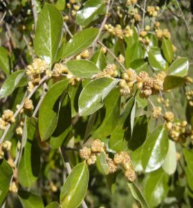 "City Farm - ""Petalostigma pachyphyllum"", (commonly known as ""Thick leaved Quinine bush"")"