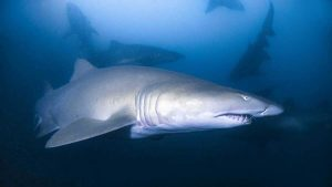 Divers note a major breakthrough in Grey Nurse Shark research Image Justin Cally