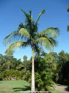 City Farm - Archontophoenix cunninghamiana, commonly known as the Bangalow Palm